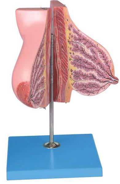 哺乳期女性乳房模型A15111,女性乳房模型-找上海佳悦,专业医学模型生产厂家