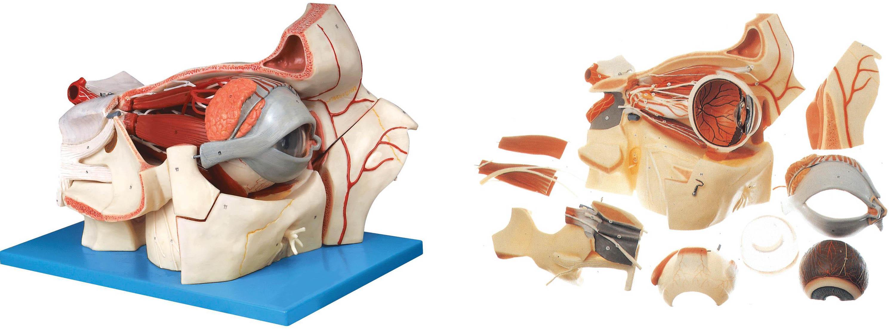 眼球与眼眶附血管神经放大模型,眼球与眼眶模型是我公司自行研发生产热销的医学教学模型,欢迎各医院单位订购021-63283651