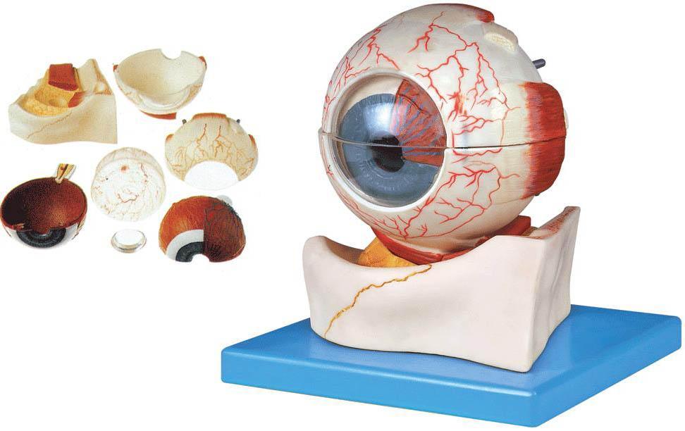 是我公司自行研发生产热销的医学教学模型,欢迎各医院单位订购021-63283651