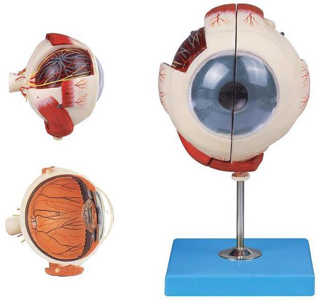 眼球放大模型A17101是我公司自行研发生产热销的医学教学模型,欢迎各医院单位订购021-63283651