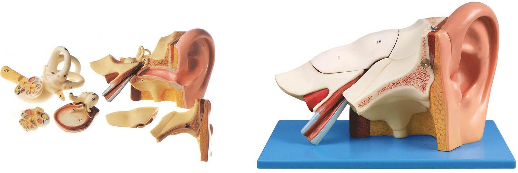 耳放大模型A17201,耳模型是我公司自行研发生产热销的医学教学模型,欢迎各医院单位订购021-63283651