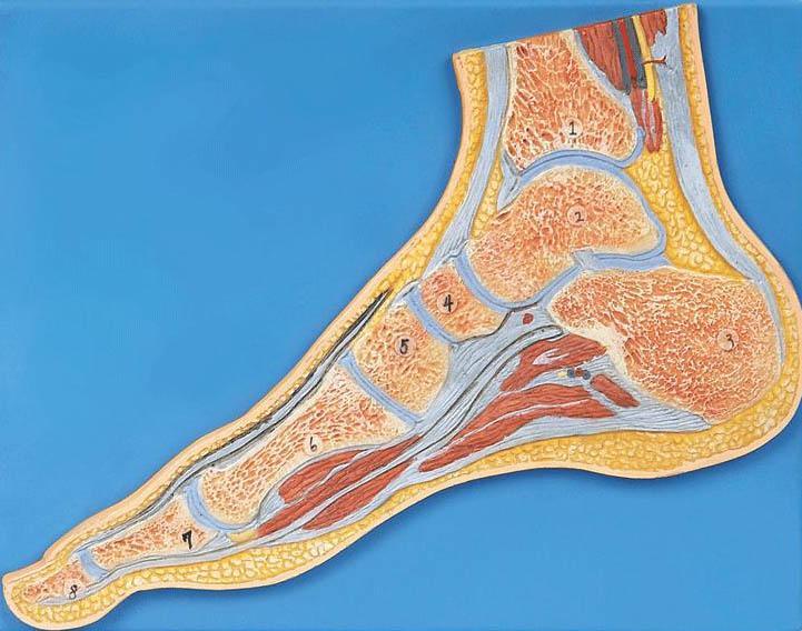 足关节剖面模型A11207