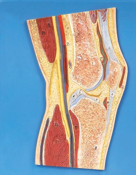 膝关节剖面模型A11206