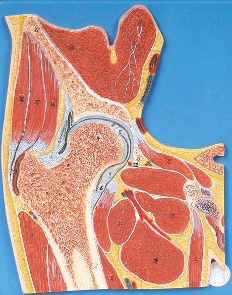 髋关节剖面模型A11205