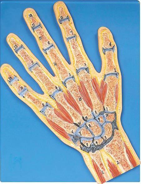 手关节剖面模型A11204