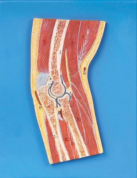 肘关节剖面模型A11203,肘关节模型价格报价