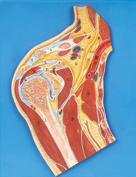 肩关节剖面模型A11202