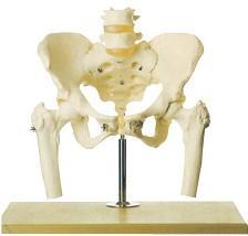 骨盆附腰椎与股骨头模型A11129