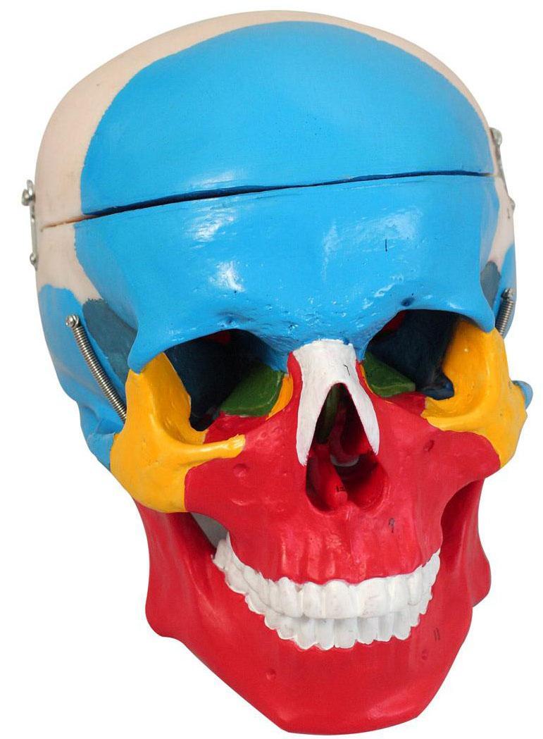 颅骨分离模型A11118