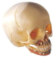 儿童头颅骨模型A11114