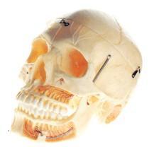 颅骨模型,成人头颅骨附血管神经模型A11113