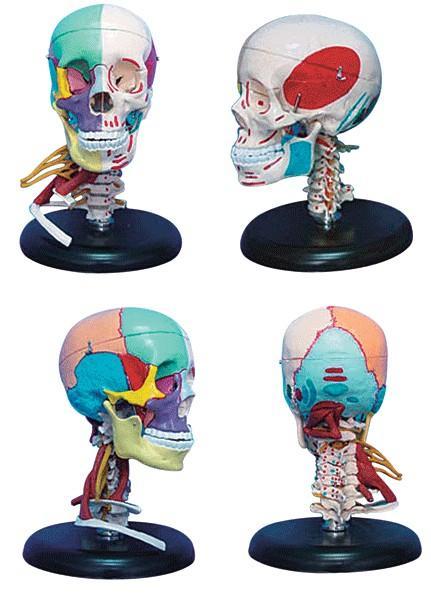肌肉模型,168cm成人头骨左半边肌肉着色右半边骨性色分带颈部肌肉模型A11111/4