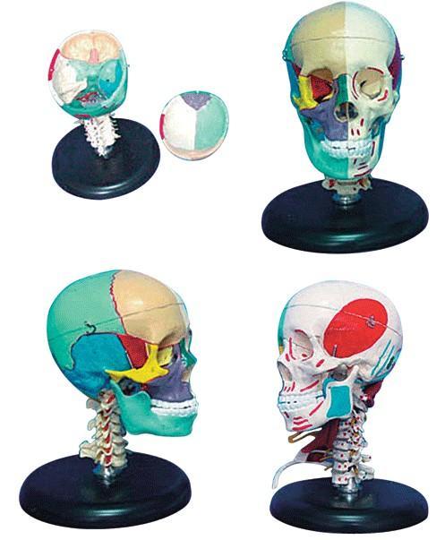 168cm成人头骨左半边肌肉着色右半边骨性色分模型A11111/3