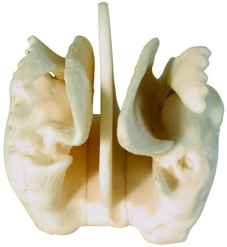筛骨放大模型A11121,筛骨骨骼模型