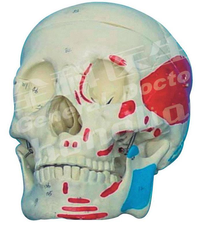 成人头颅骨肌肉着色模型A11111/2,成人头颅骨模型