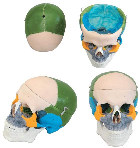 成人头颅骨骨性着色模型A11111/1