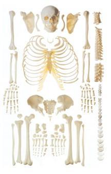 人体骨骼散骨模型(游离骨)A11103,人体散骨模型,游离骨模型
