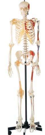 女性全身骨骼附半身肌肉着色附韧带模型A11102-2
