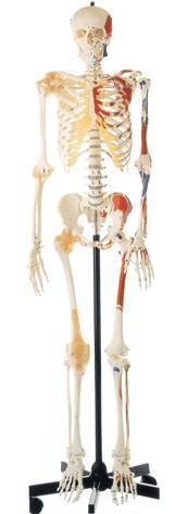 男性全身骨骼附半身肌肉着色附韧带模型A11102-1 ,全身骨骼图