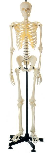 全身骨骼85cm模型A11101/3,85cm人体骨骼模型
