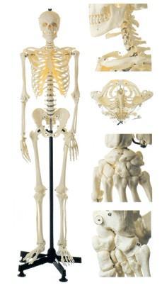 男性全身骨骼模型A11101-1,人体骨骼模型