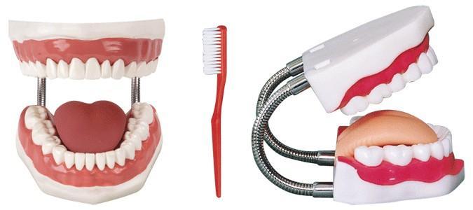 牙护理保健模型GD/H11