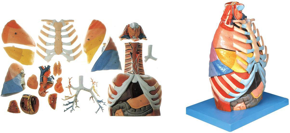 胸腔解剖模型A13016,人体胸腔解剖图-找上海佳悦,专业生产厂家