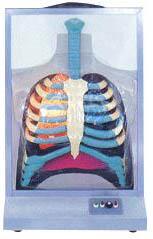 电动人体呼吸系统模型A13015,proe 人体模型-找上海佳悦,专业生产厂家