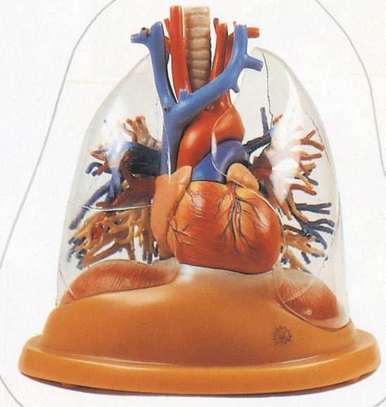 心脏与透明肺、气管、支气管树模型A13013,心脏模型-找上海佳悦,专业医学模型生产厂家
