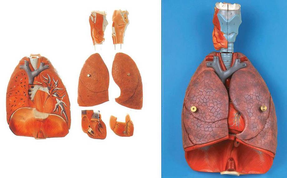 喉、心、肺模型A13012,肺模型-找上海佳悦,专业医学模型生产厂家