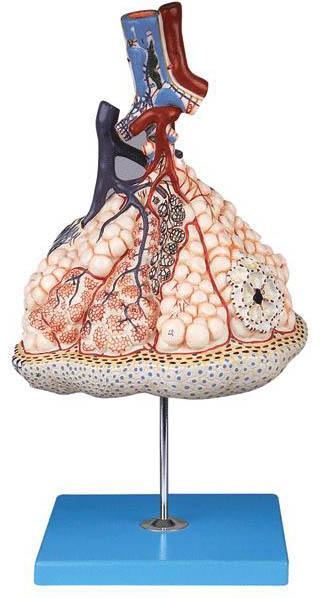 肺泡放大模型A13011-2,肺小叶与肺泡放大模型,肺泡模型-找上海佳悦,专业医学模型生产厂家