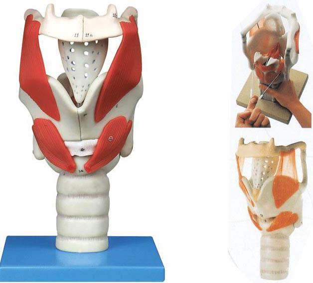 喉结构与功能放大模型A13005,咽喉结构模型-找上海佳悦,专业医学模型生产厂家