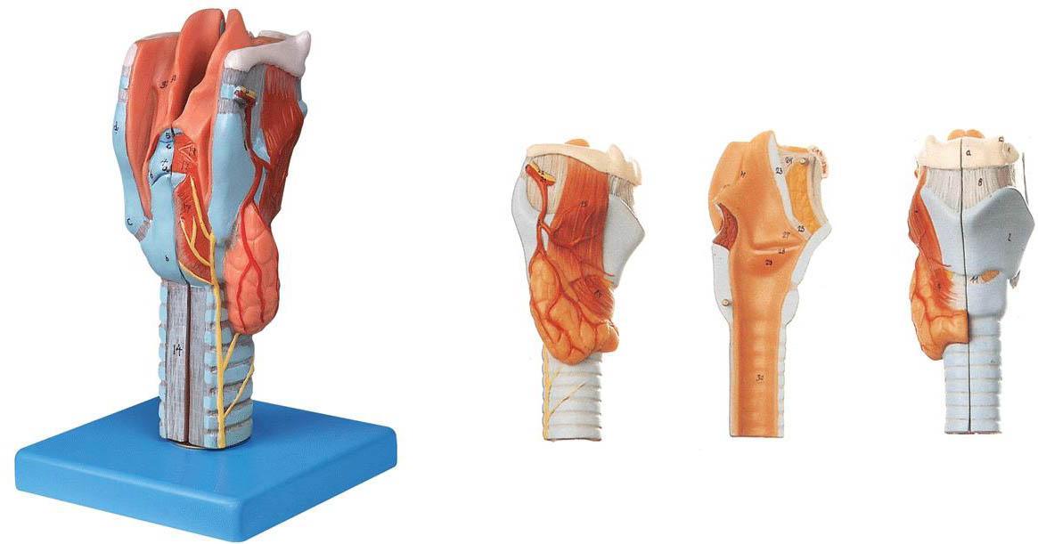 喉模型A13004,人体喉部解剖模型-找上海佳悦,专业医学模型生产厂家