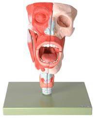 鼻、口、咽、喉腔模型A13001专业医学模型生产厂家