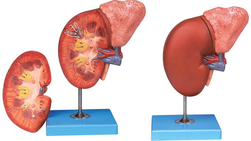 肾脏与肾上腺放大模型A14006,肾脏解剖模型-找上海佳悦,专业医学模型生产厂家