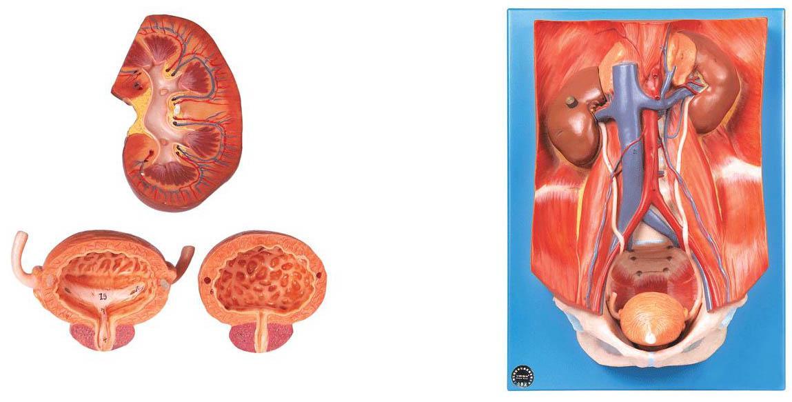 泌尿系统附腹后壁模型A14004,泌尿系统解剖模型价格,上海佳悦,专业医学模型生产厂家
