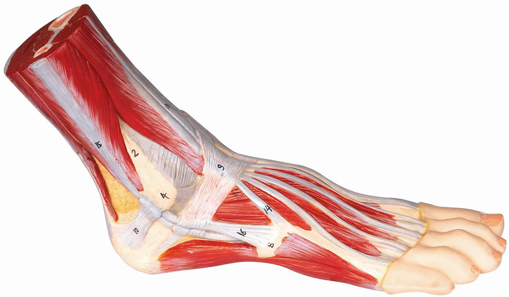 足解剖模型A11311,脚掌关节功能模型