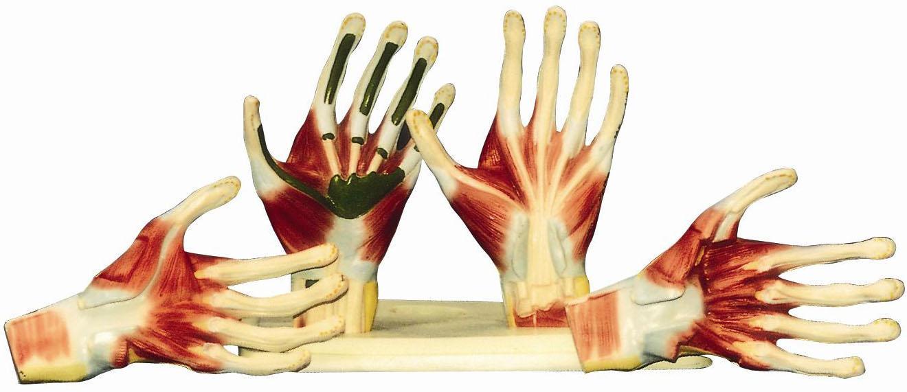 手掌解剖模型A11306,手解剖附神经血管模型,找上海佳悦-专业生产商