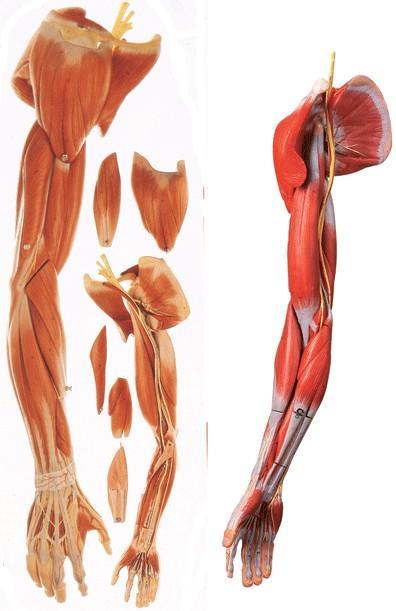 上肢肌肉附主要血管神经模型A11305,上肢肌肉解剖模型,上肢血管神经模型,找上海佳悦-专业生产厂家