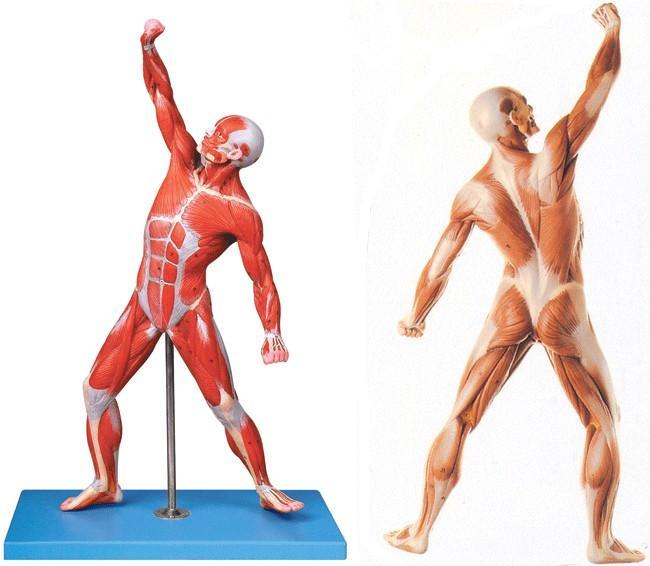 人体肌肉_人体全身肌肉运动模型a11303