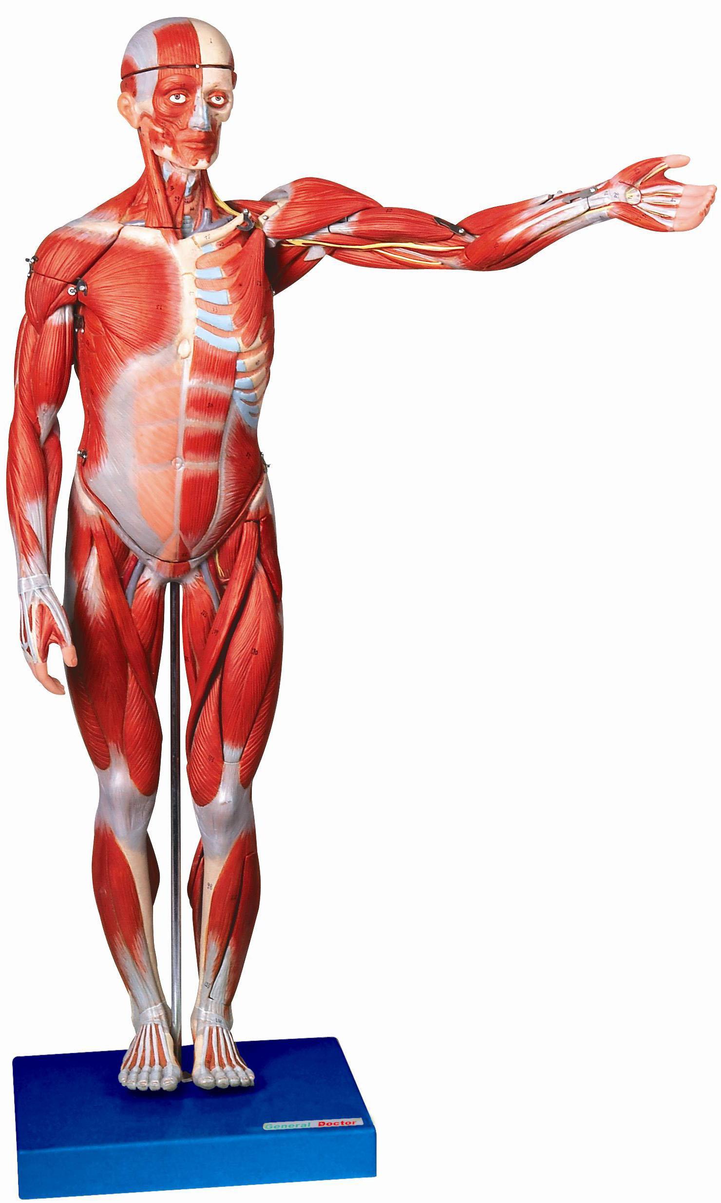 身体肌肉图_人体全身肌肉解剖模型(高78cm)A11302 - 人体解剖-系统解剖学肌肉 ...