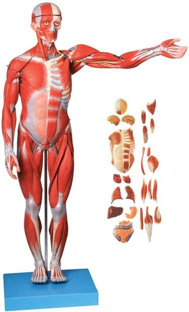 人体全身肌肉附内脏模型(高78cm)A11301-1,人体全身肌肉解剖模型