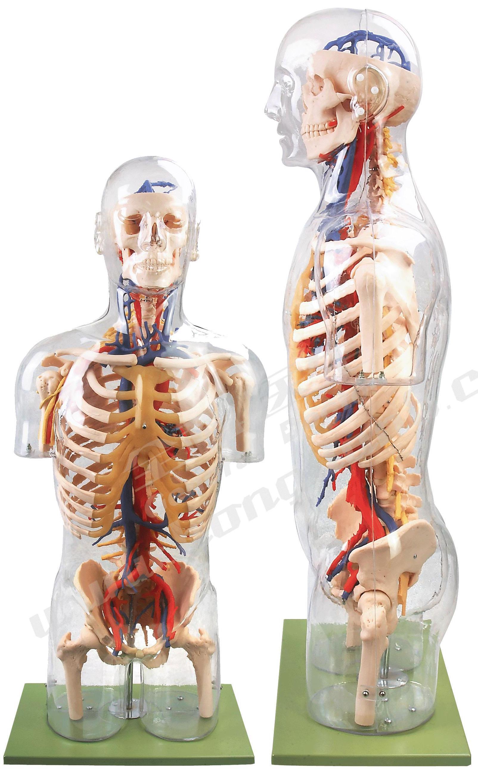 透明半身躯干附血管神经模型A10005,透明半身躯干附主要血管神经模型