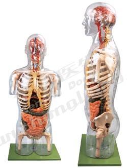 透明半身躯干附内脏模型A10004,透明半身躯干附血管神经模型