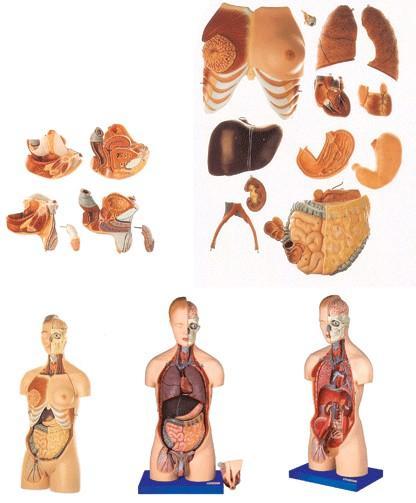 男性、女性外两性互换人体头颈躯干模型A10002,男、女性两性互换肌肉内脏背部开放式头颈躯干模型