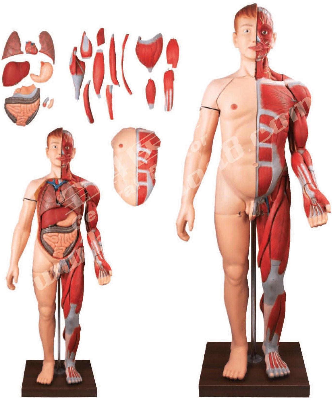 人体解剖模型价格