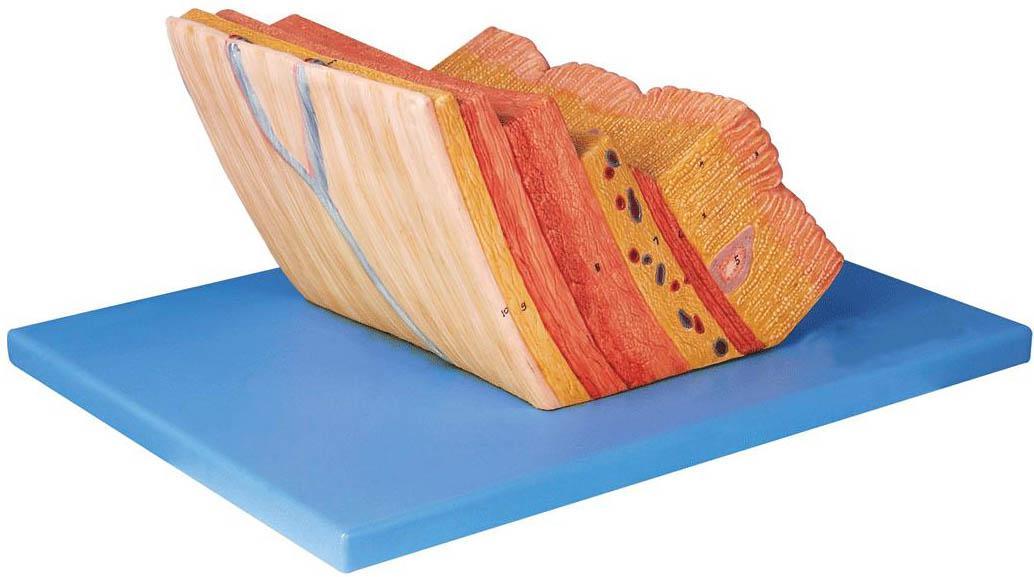 胃壁放大模型A12003,胃壁模型,胃壁层次模型