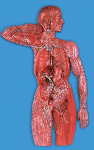 淋巴系统模型A16011,淋巴模型-找上海佳悦,专业医学模型生产厂家