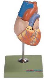儿童心脏解剖放大模型A16008,儿童心脏模型-找上海佳悦,专业医学模型生产厂家