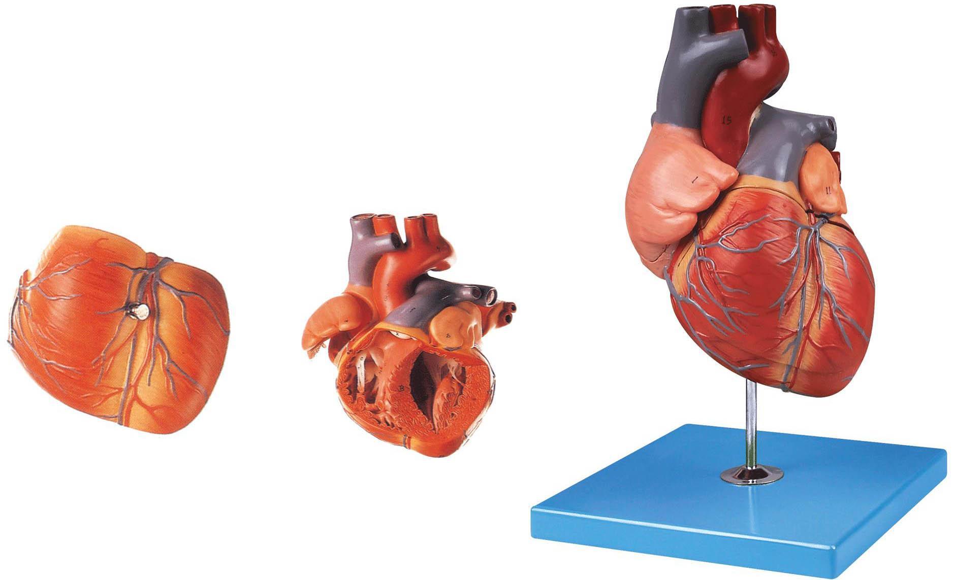 心脏解剖放大模型-上海佳悦公司:021-63283651 中国领先的医学教学模型设备制造厂家